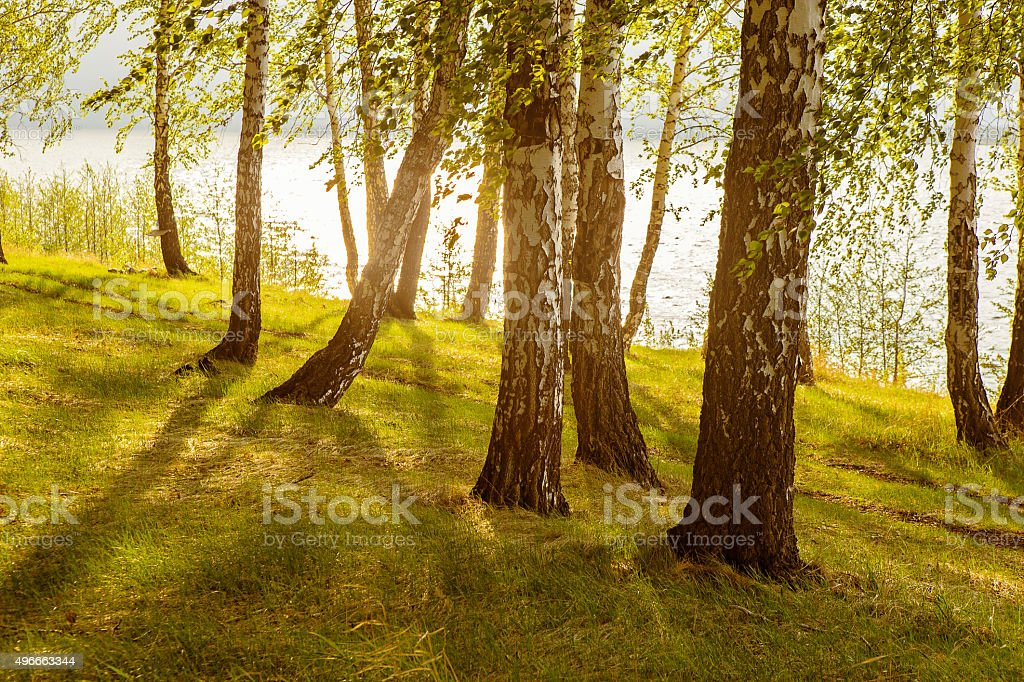 birches on the river bank stock photo