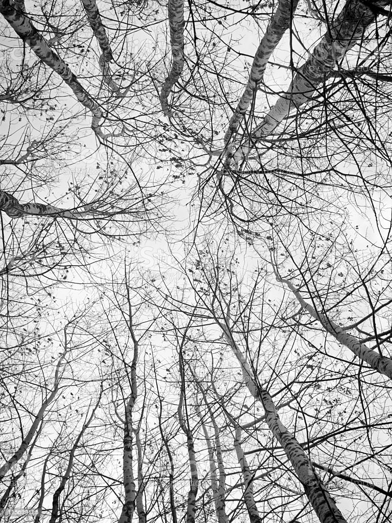 Birches royalty-free stock photo