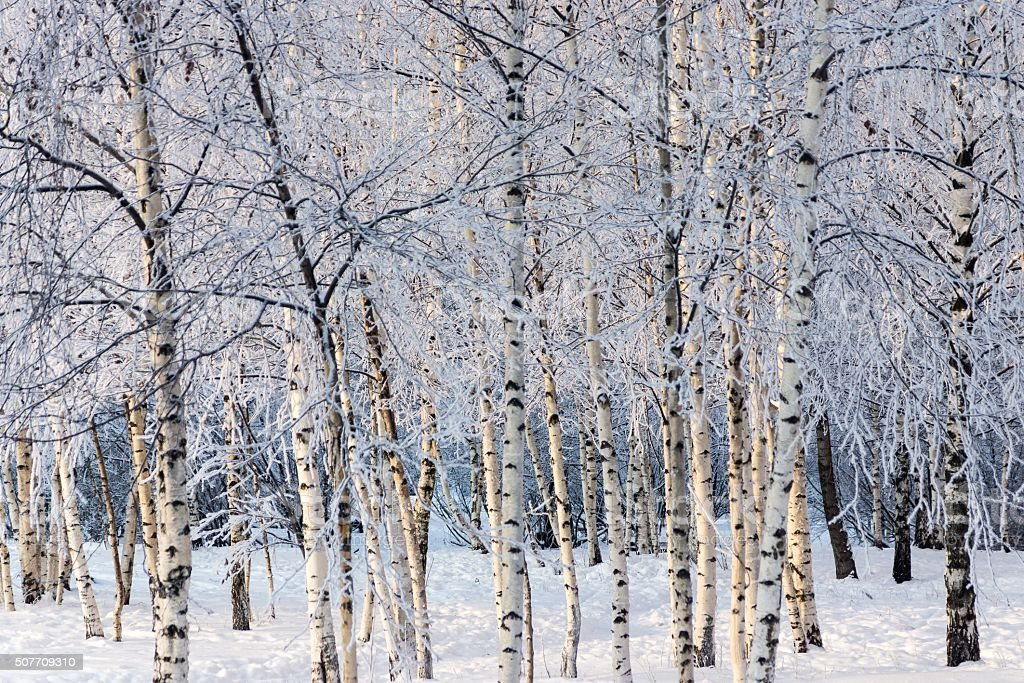birchwood in the winter with white snow and hoarfrost stock photo