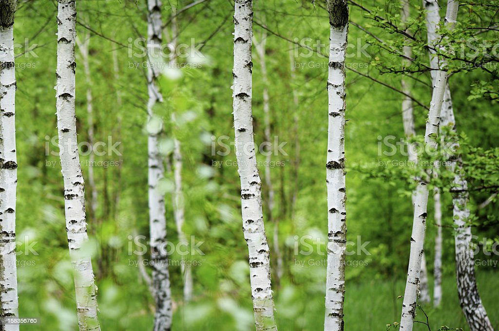 Birchwood royalty-free stock photo