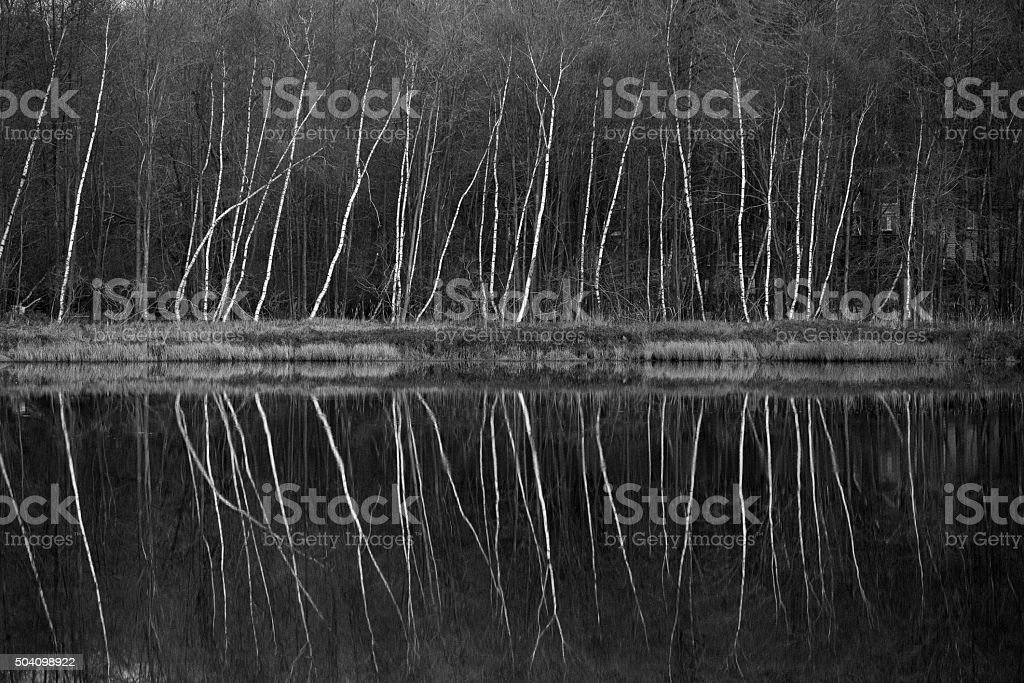 Birchwoods next to the lake: symmetrical reflection in the water stock photo