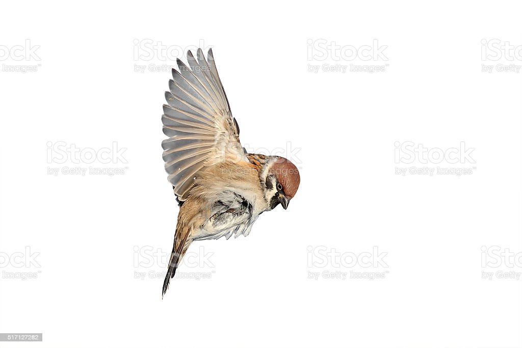 bird a Sparrow flies to spread its wings stock photo