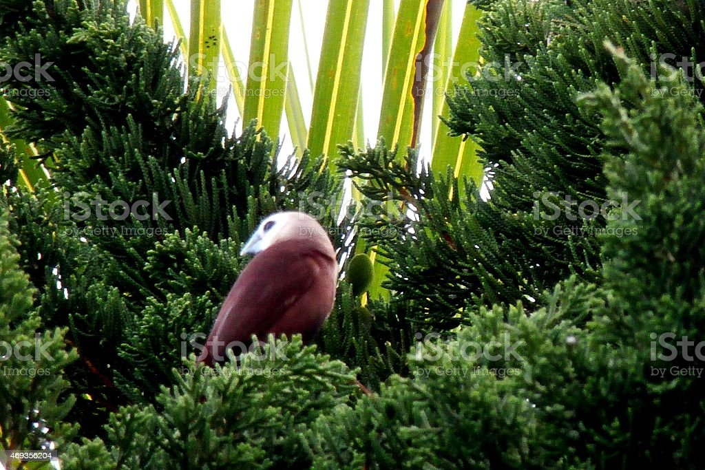 Bird and his home in pine needles stock photo