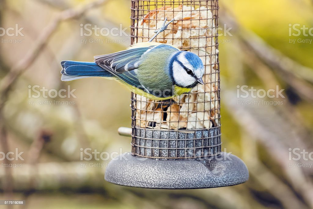 Bird At Bird Feeder. Garden Wildlife Scene Blue Tit stock photo