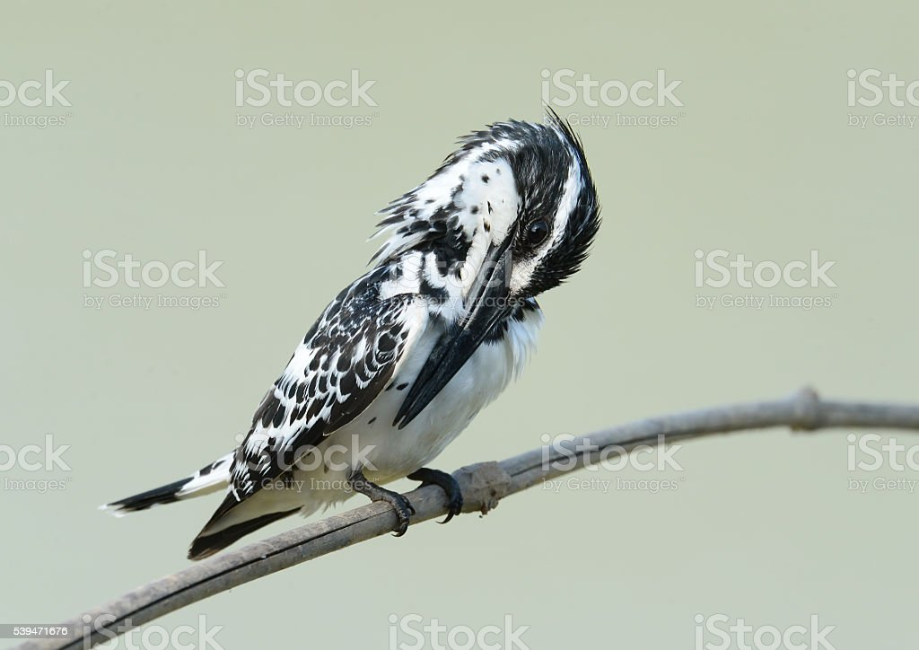 Bird Black and White on a branch stock photo