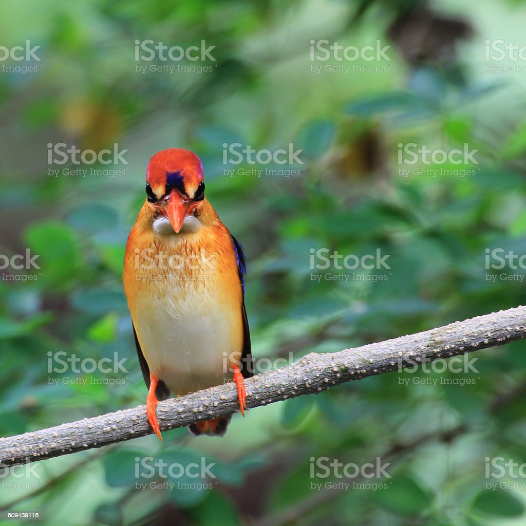 bird Black backed Kingfisher perched on branch stock photo