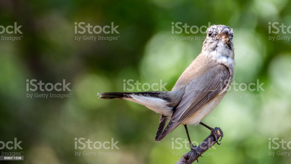 Bird (Red-throated Flycatcher, Taiga Flycatcher, Ficedula albicilla, Ficedula parva) brown above and white below stock photo