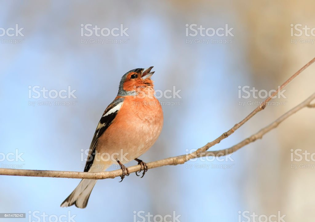 bird Chaffinch sings a sonorous song tree-spring in the woods stock photo