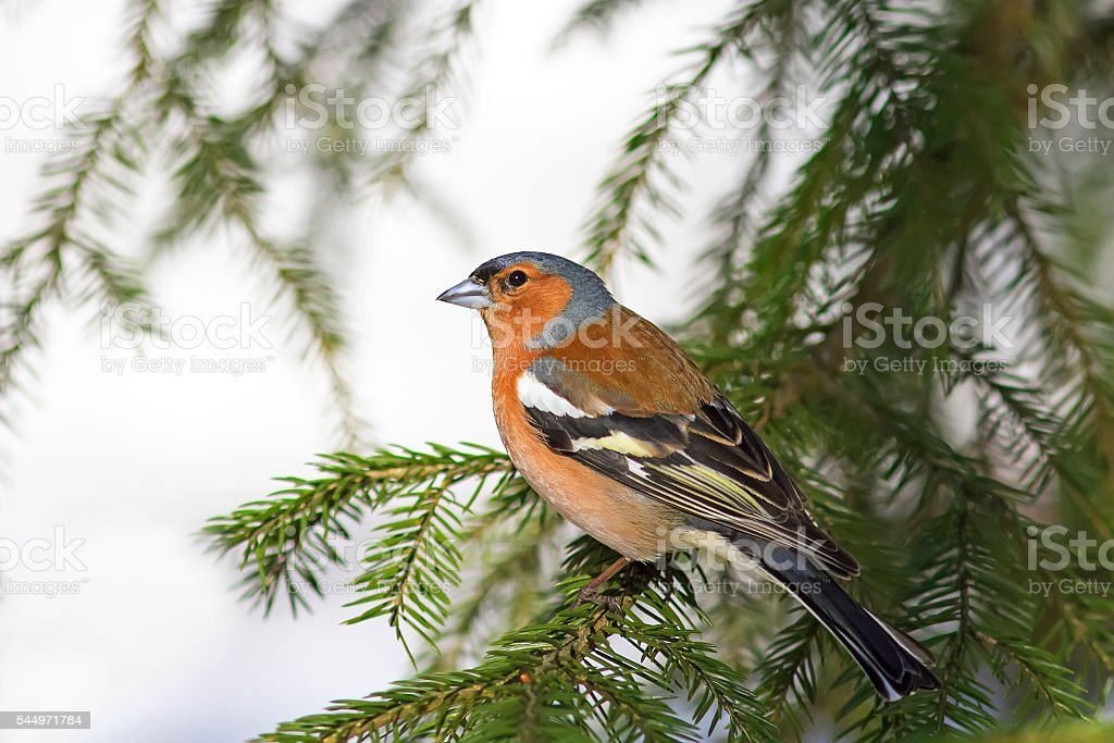 bird Chaffinch sits among the green fir tree branches stock photo