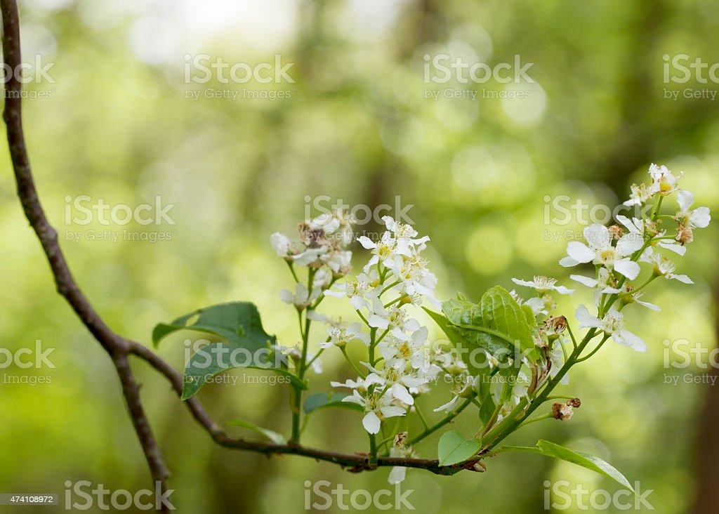 Bird Cherry (Prunus padus) Blossom stock photo