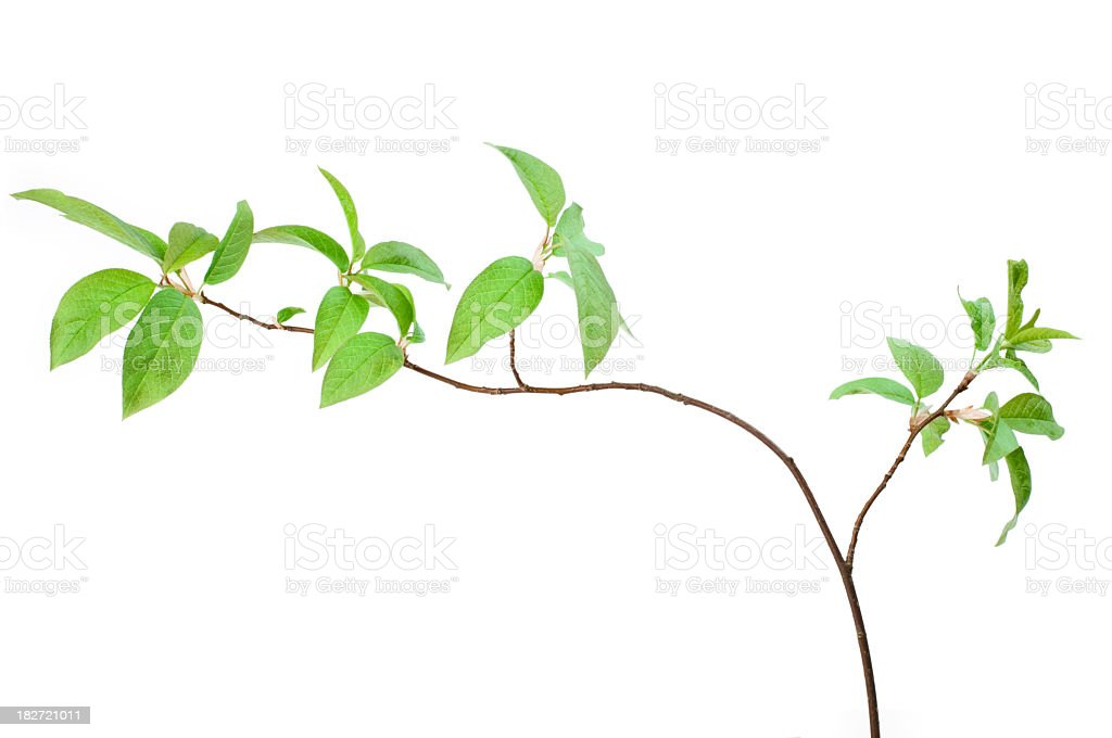 A bird cherry branch on a plain white background royalty-free stock photo