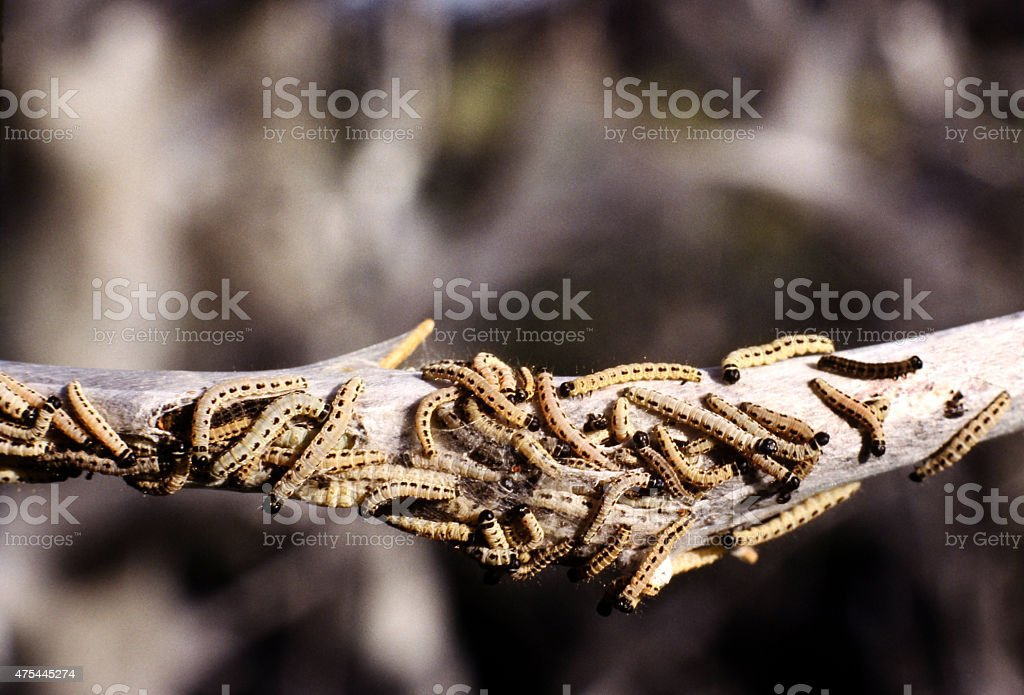 Bird cherry Ermine. Caterpillar. Yponomeuta Evonymella. stock photo