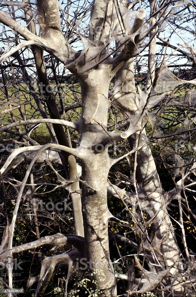 Bird cherry Ermine. Yponomeuta evonymella. stock photo