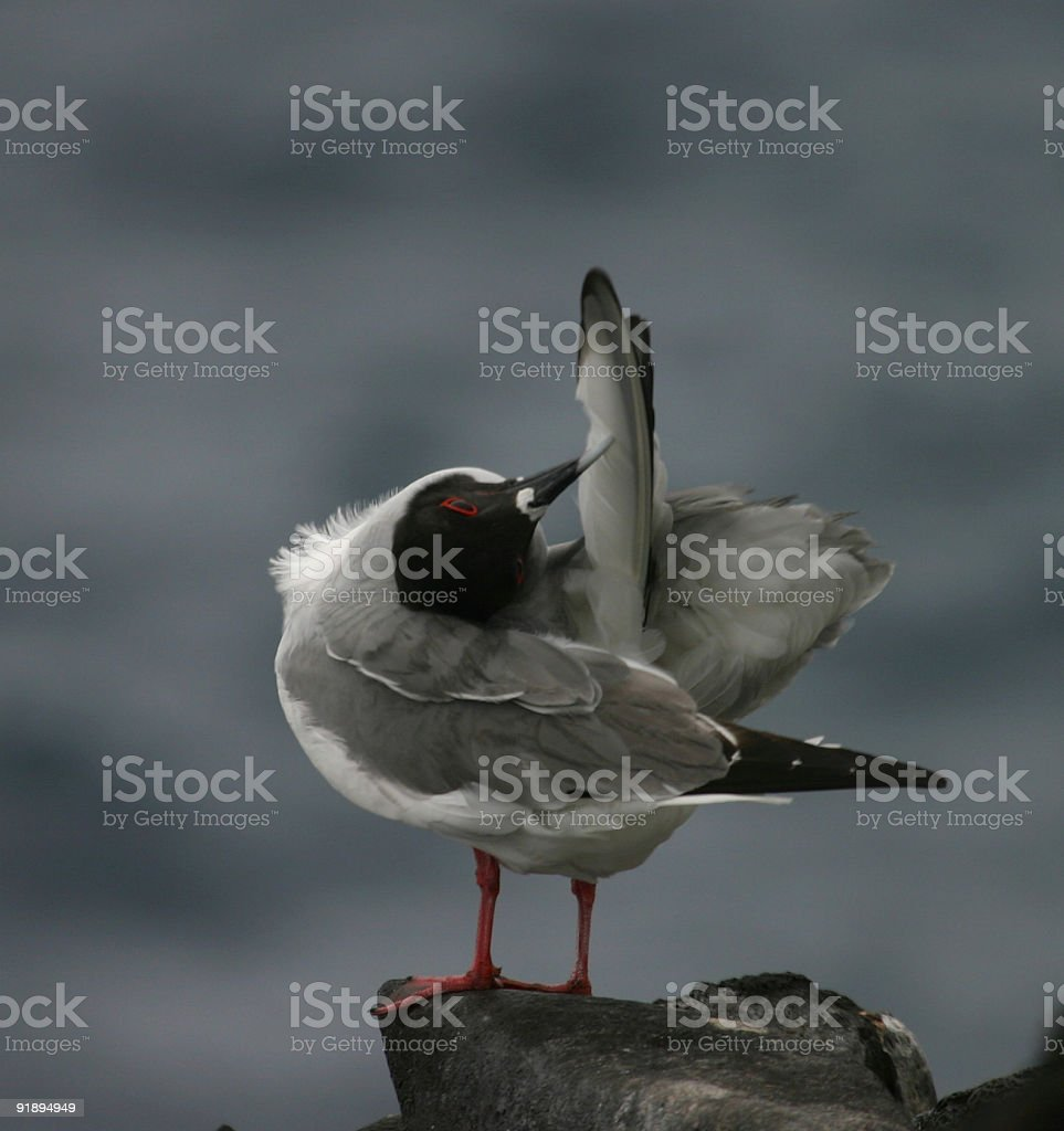 Bird Cleaning Feathers royalty-free stock photo