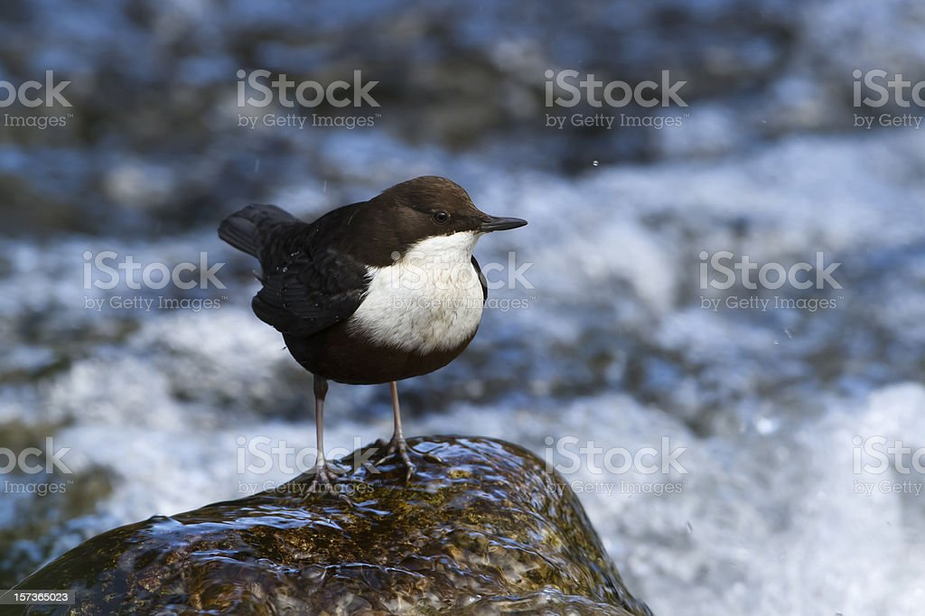 Bird common dipper standing on a rock royalty-free stock photo