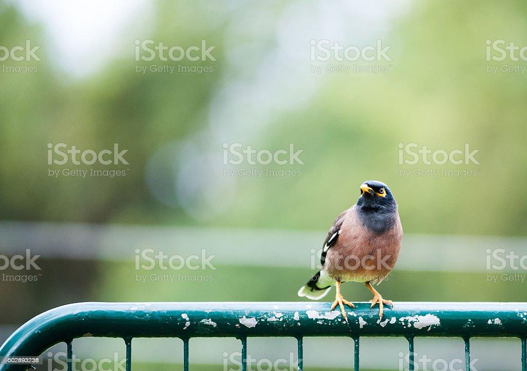 bird Common Myna sitting on a fence stock photo