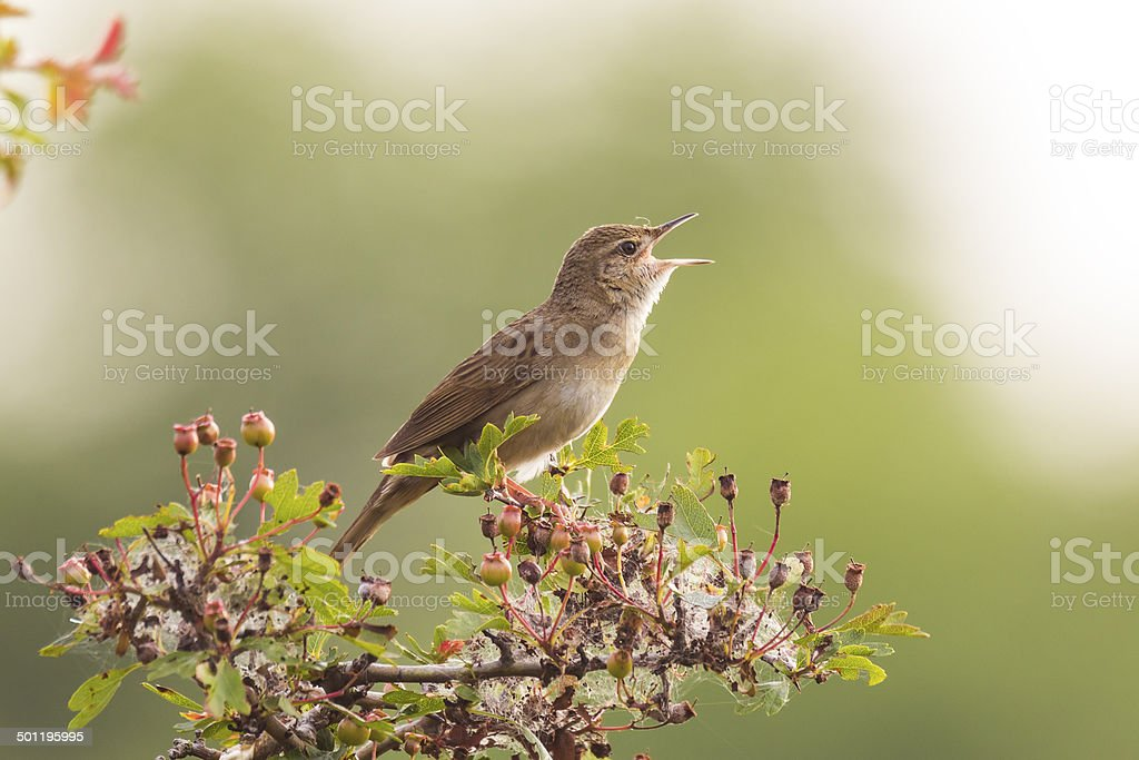 Bird displaying in the forest stock photo