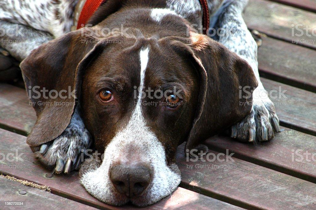 Bird Dog royalty-free stock photo