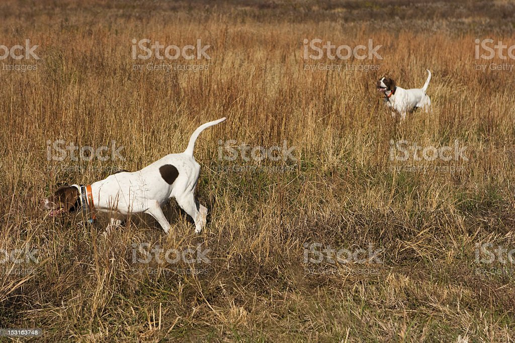 Bird dogs on honor stock photo