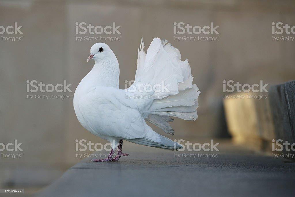 Bird - Dove royalty-free stock photo