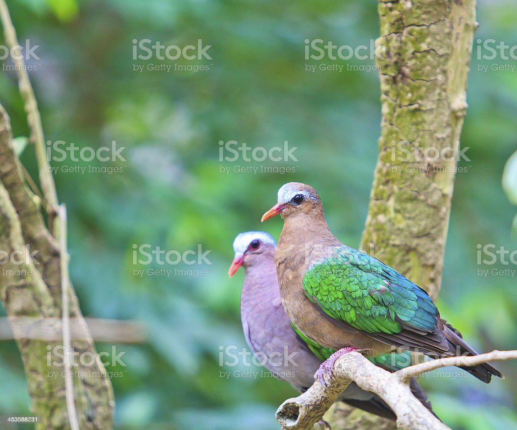 Bird Emerald Dove chalcophaps indica Thailand royalty-free stock photo