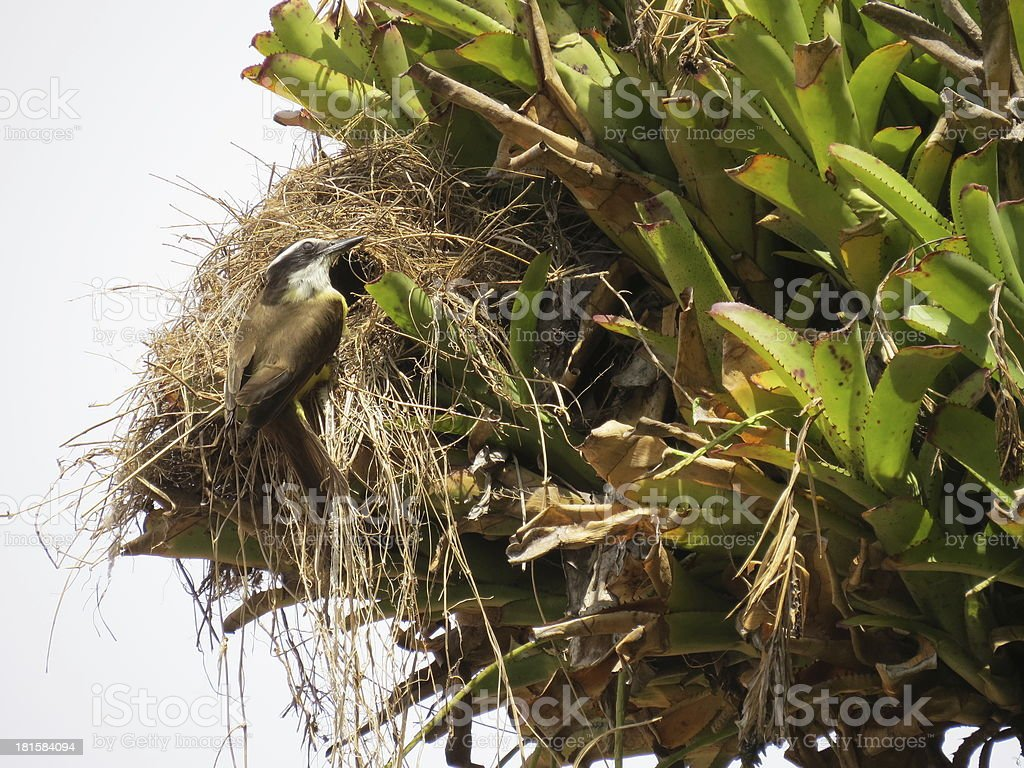 Bird entering the nest royalty-free stock photo