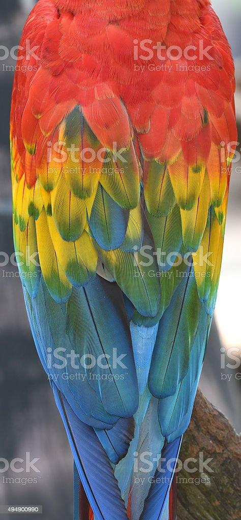 Plumes d'oiseaux Ara rouge plumes. photo libre de droits