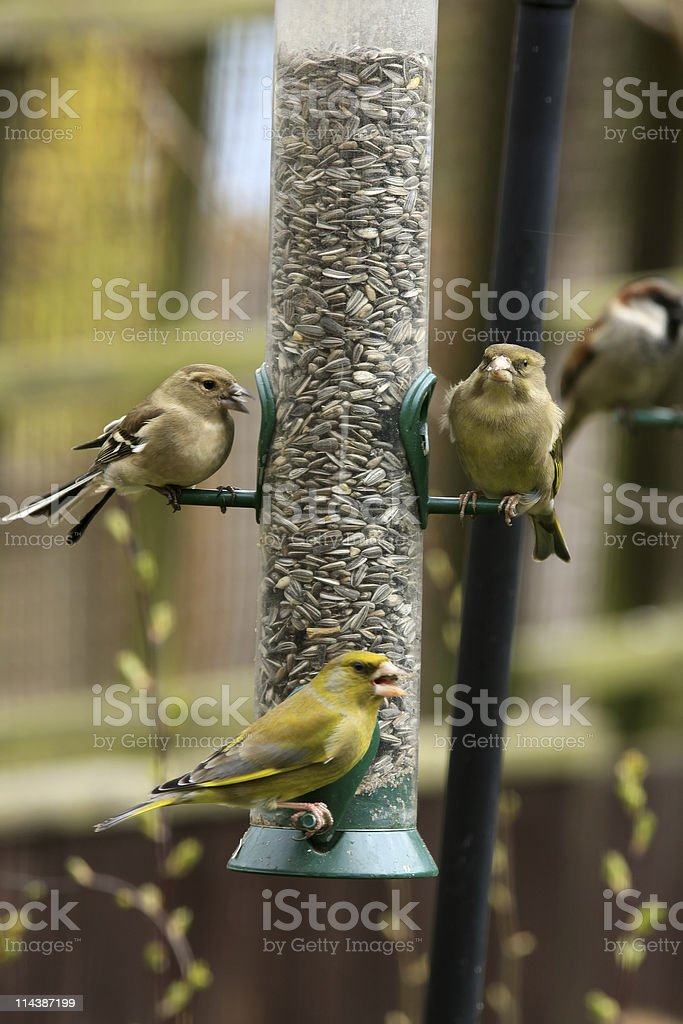 Bird Feeder with Finches royalty-free stock photo