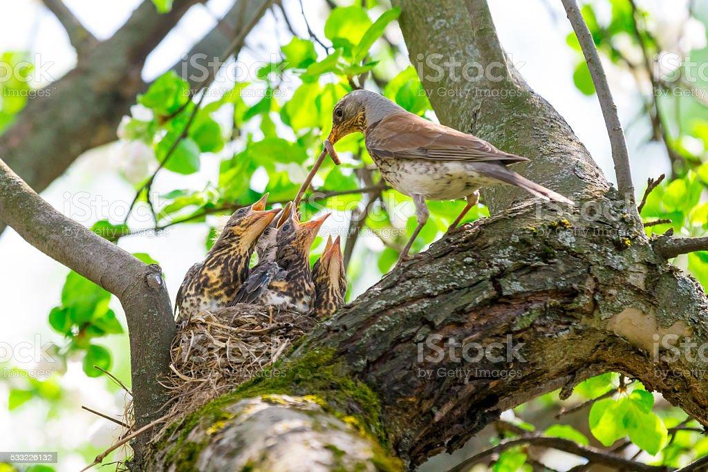 bird feeding baby birds in the nest stock photo