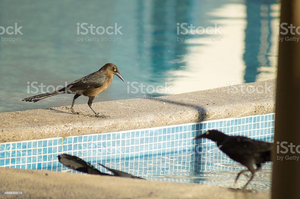 Bird Female Great-tailed Grackle Zanate Negro Mexicano stock photo