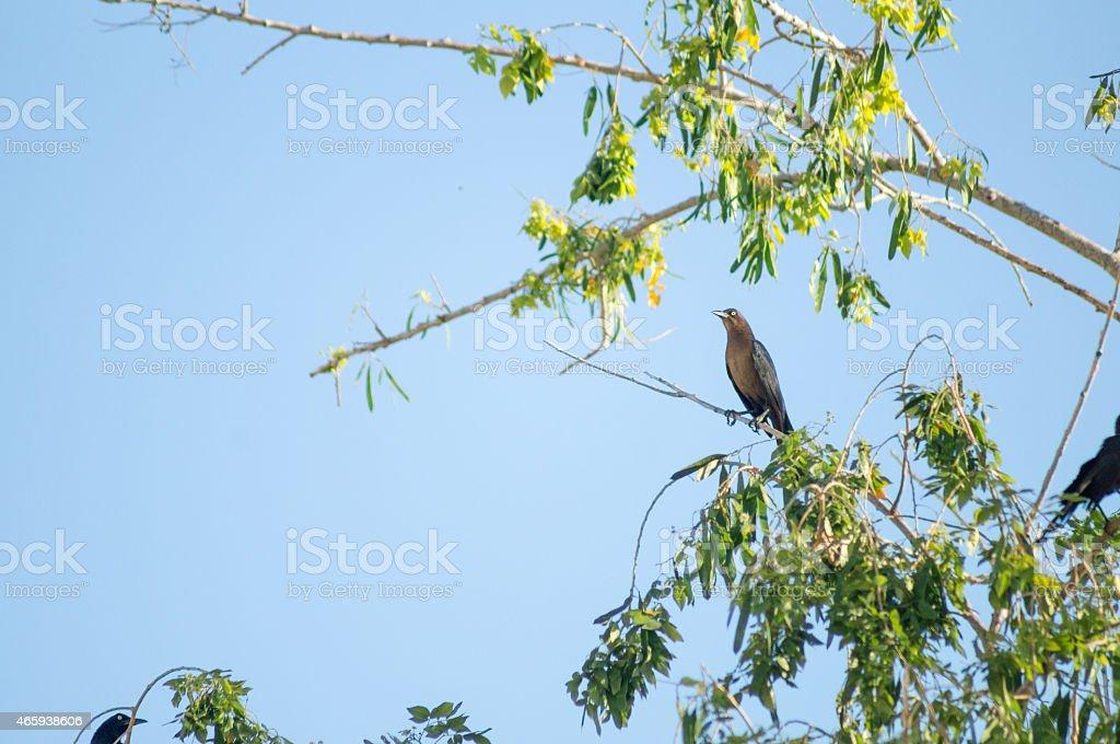 Bird female Great-tailed Grackle Zanate Negro Mexicano stock photo