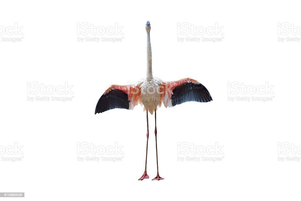 Oiseau flamingo marchant sur fond blanc photo libre de droits