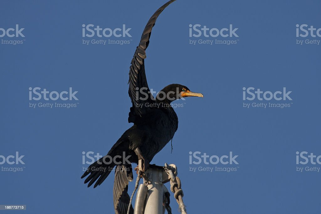 Bird Flapping Wings royalty-free stock photo