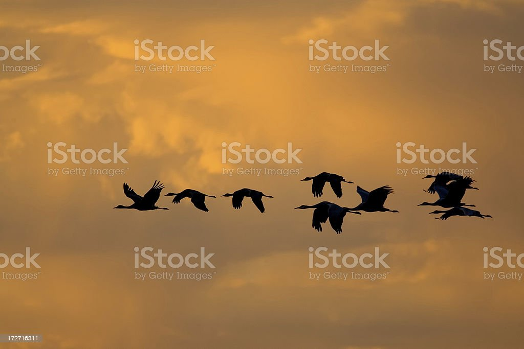 Bird Flock Flying in Orange Sky royalty-free stock photo