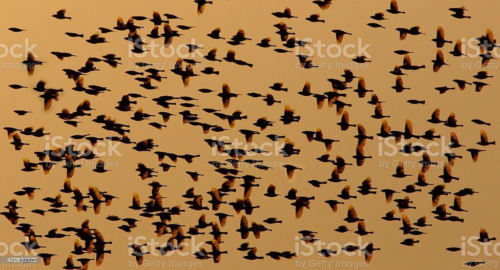 Bird flock silhoutte stock photo