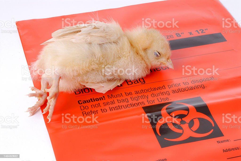 Bird Flu Victim royalty-free stock photo