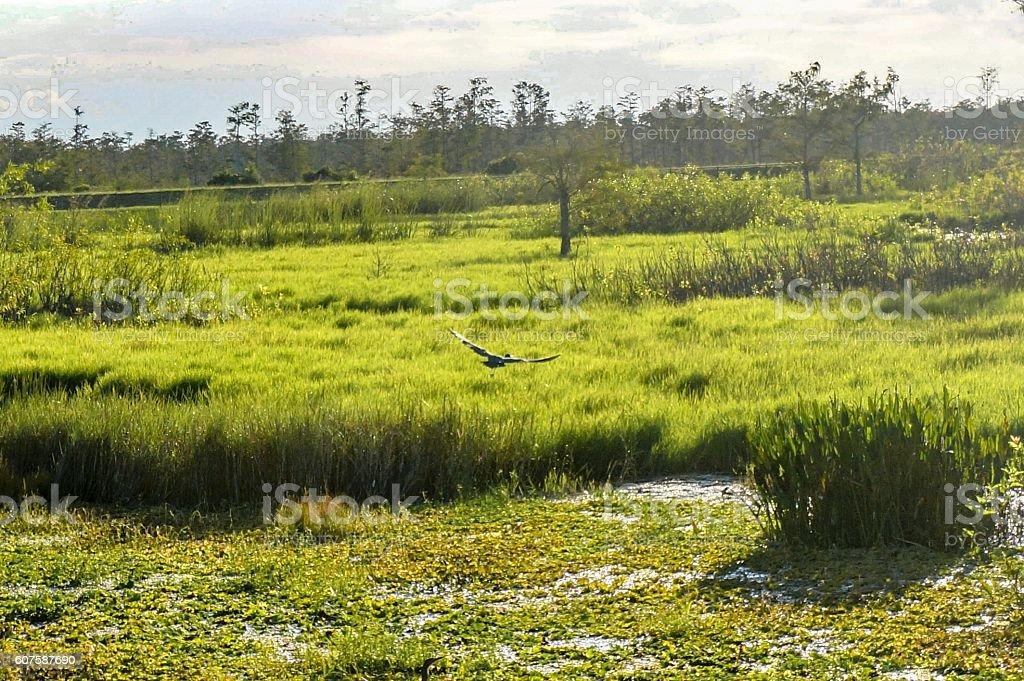 bird flying in the swamp stock photo