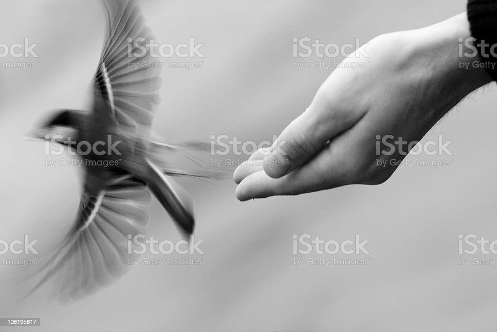 Bird flying off a hand royalty-free stock photo