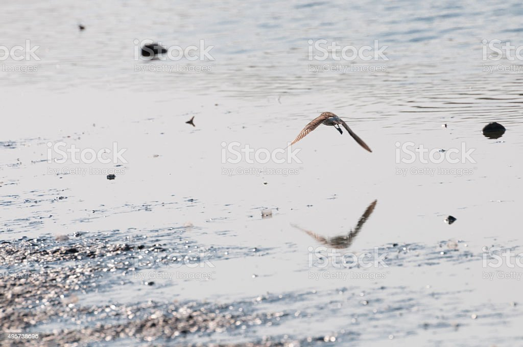 bird flying on water surface stock photo
