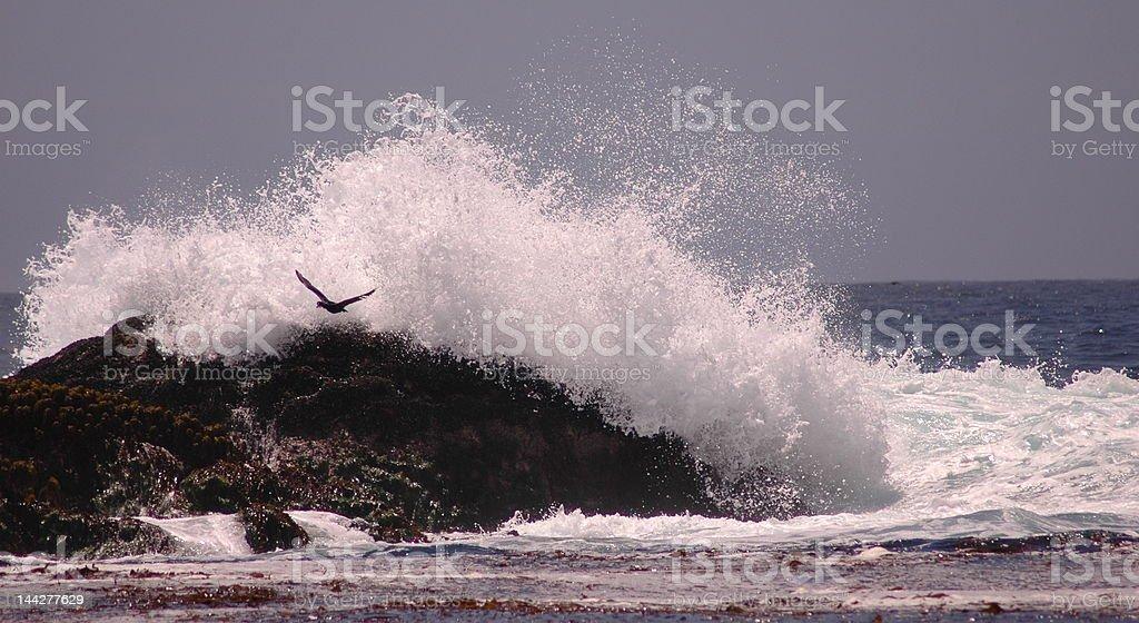 Bird Flying through Wave royalty-free stock photo