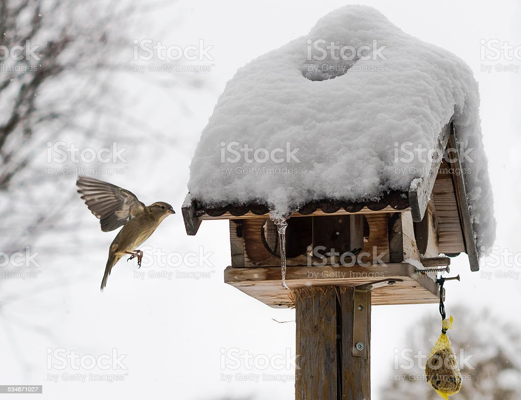 Bird flying towards snowed bird feeder at winter stock photo