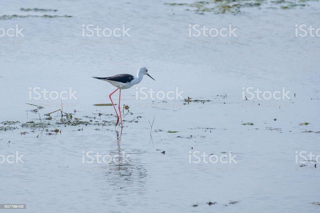 Bird foraging walk. stock photo