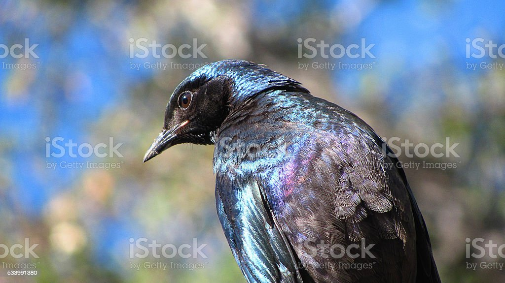 Bird Glossy Starling purple blue feathers stock photo