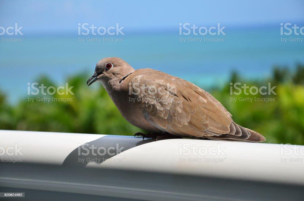 Bird (Dove), Grand Bahama, Bahama Islands stock photo