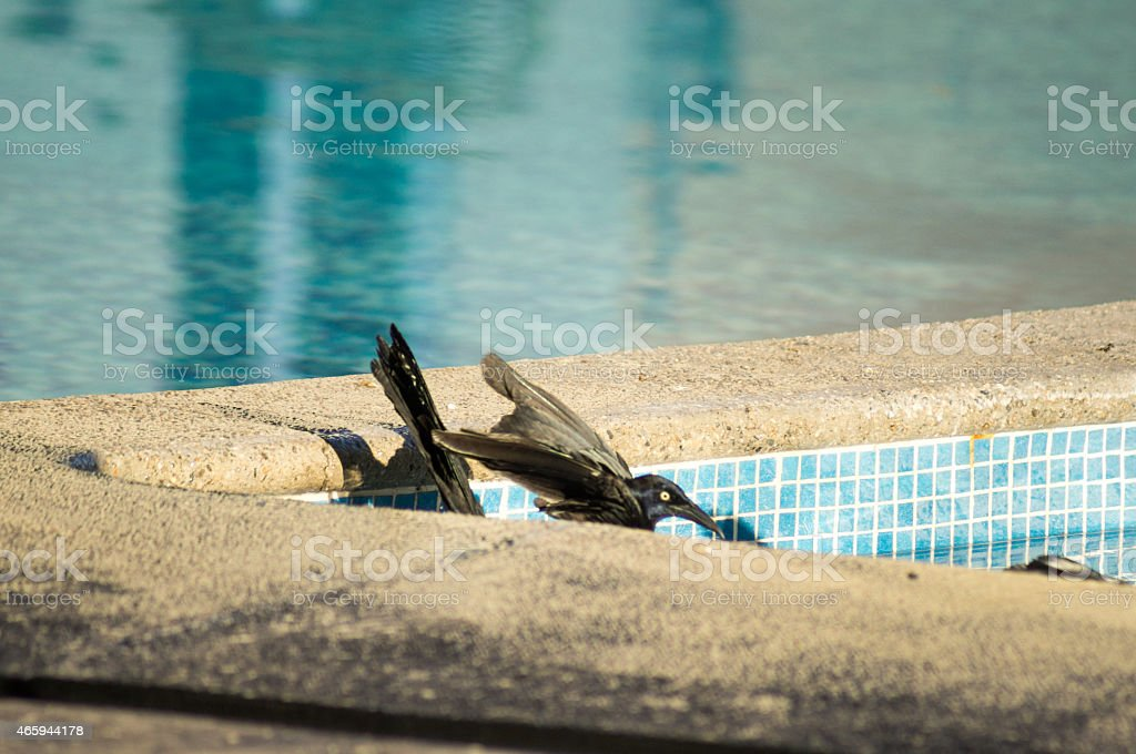 Bird  Great-tailed Grackle Zanate Negro Mexicano stock photo