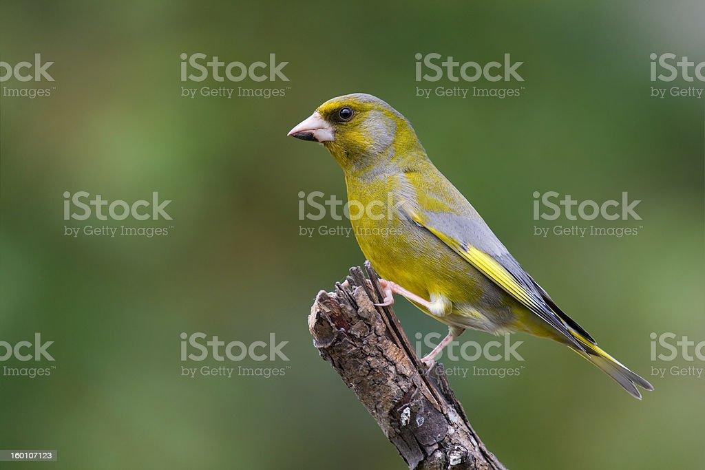 bird - green finch stock photo