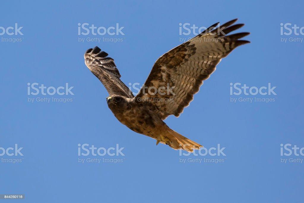 Bird hawk flying above Los Angeles stock photo