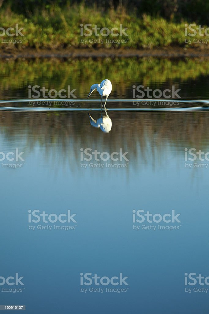Bird hunting for fish in sea royalty-free stock photo