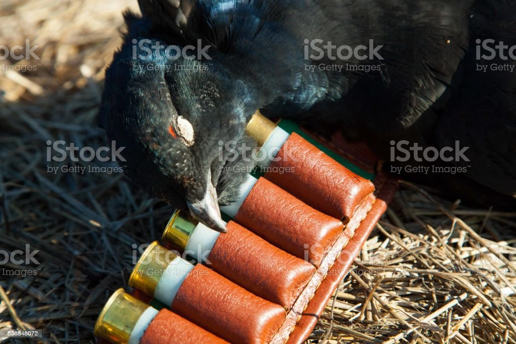 bird hunting in the summer, gun and bullets stock photo