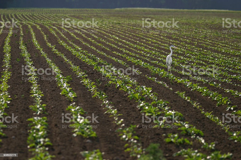 Bird in a field [ 70,000th Istock Image ] royalty-free stock photo